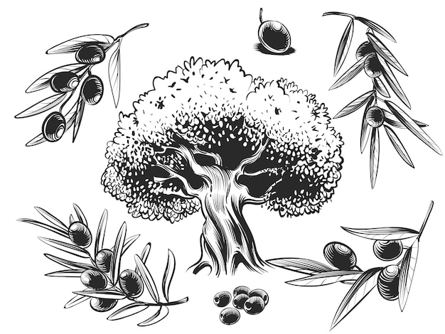 Big olive tree and olives branches hand sketched set Premium Vector