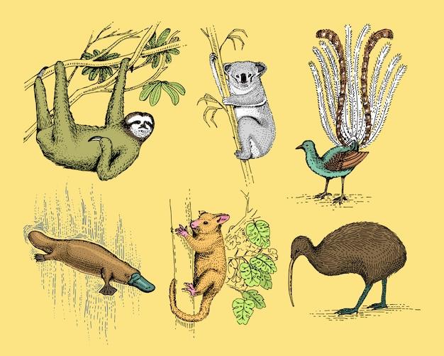 Большой набор австралийских и новозеландских символов, выгравированное животное, нарисованная рука, винтажный рисунок тасманский волк, попугай кеа, опоссум, утконос, утконос, дьявол, нумбат. вомбат, коала, птица киви. Premium векторы