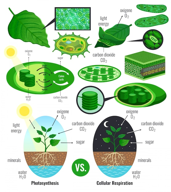 Biological photosynthesis infographic elements with light energy conversion calvin cycle scheme plants cellular respiration colorful Free Vector