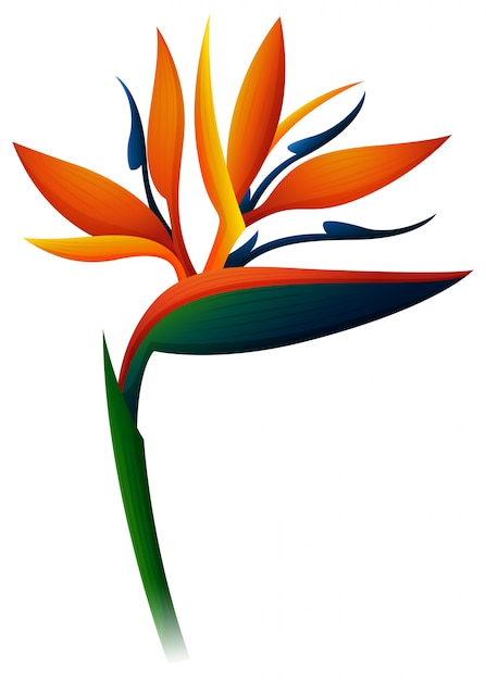 Bird Of Paradise Flower On White Background Vector Free Download