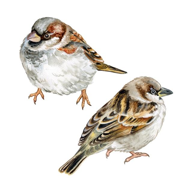 Bird sparrow isolated. watercolor. Premium Vector