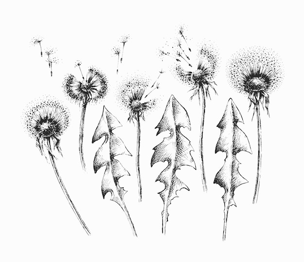 Набор черных изолированных одуванчиков цветов и листьев, пакет рисованной цветочные элементы. Premium векторы