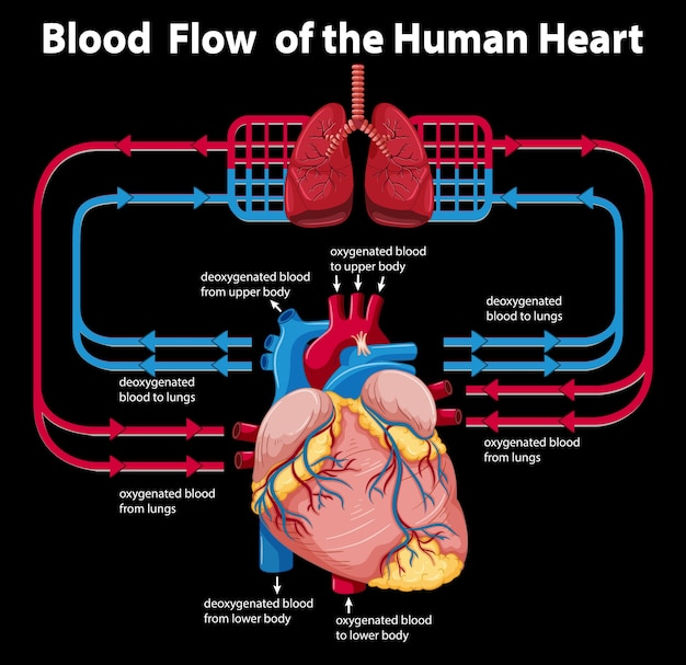 Blood flow of the human heart Free Vector
