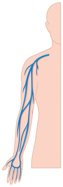 Blood vessels hand in human body Free Vector