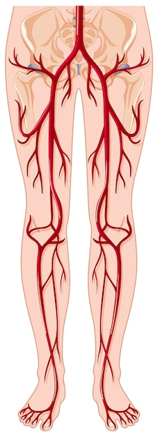 Blood vessels in human body Free Vector