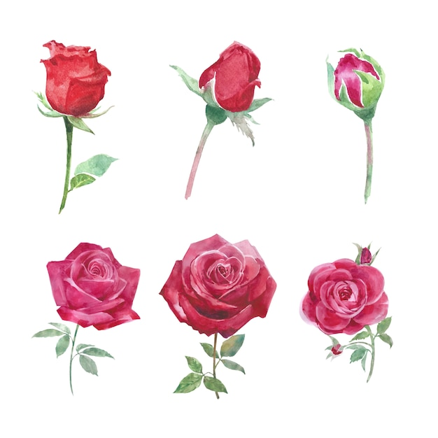ブルーム花要素の赤いバラは、装飾用の白の水彩画を上昇しました。 無料ベクター