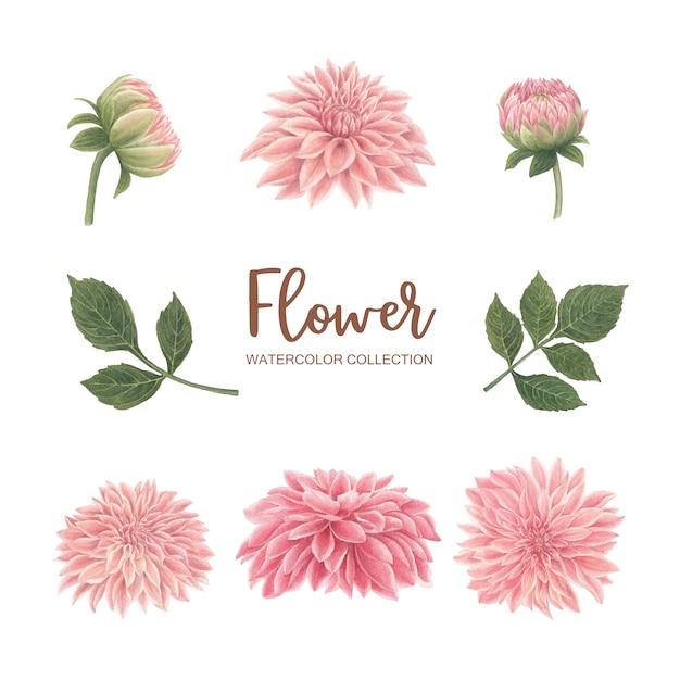 Цветение цветка акварель розовая хризантема на белом для декоративного использования. Бесплатные векторы
