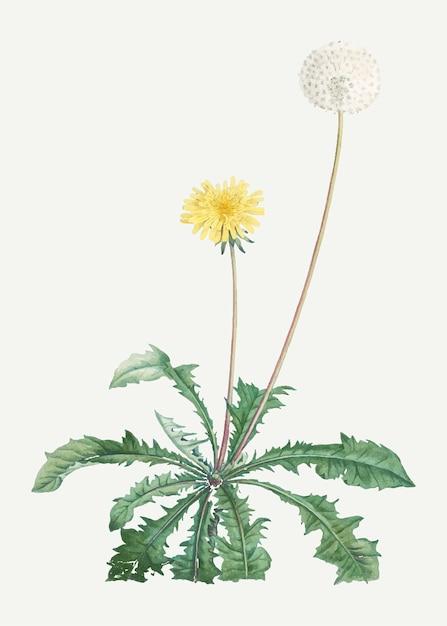Blooming dandelion Free Vector