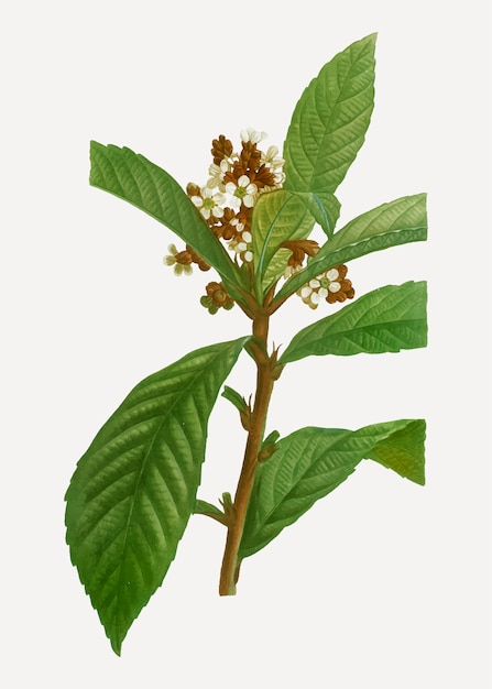 Blooming loquat branch Free Vector