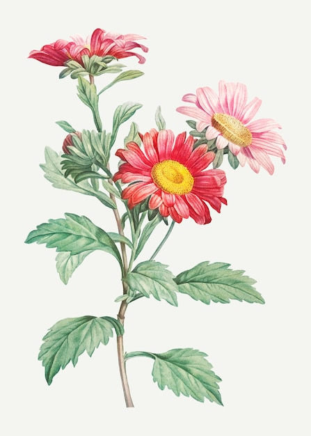 Blooming red aster flowers Free Vector