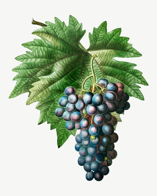 Blue grape cluster Free Vector