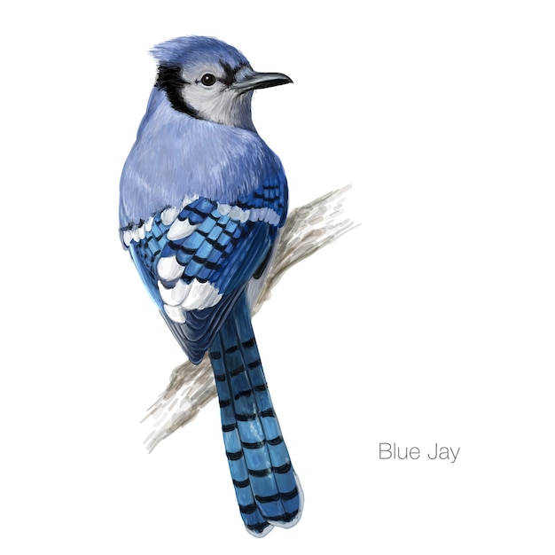 Blue jay bird illustration Premium Vector