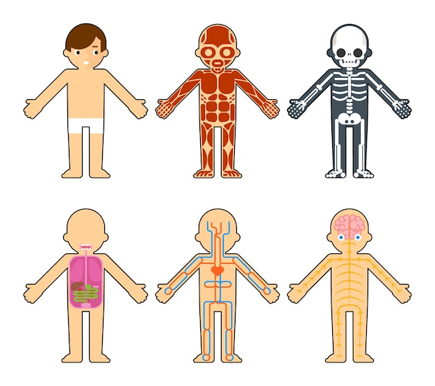 Анатомия тела для детей. скелет и мышцы, нервная система и система кровообращения Бесплатные векторы