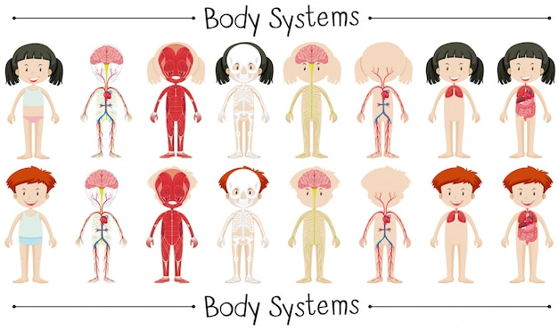 Body system of boy and girl illustration Free Vector