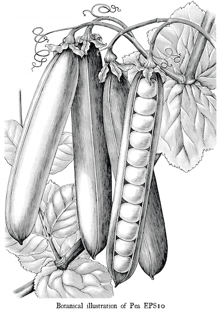 Botanical illustration of pea engraving vintage black and white clip art isolated Premium Vector