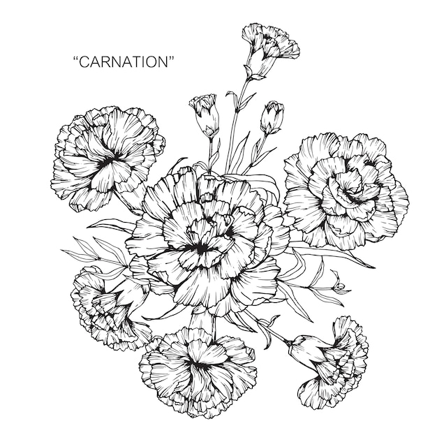 Bouquet of carnation flower drawing illustration. Premium Vector