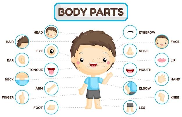 Таблица частей тела мальчика Premium векторы