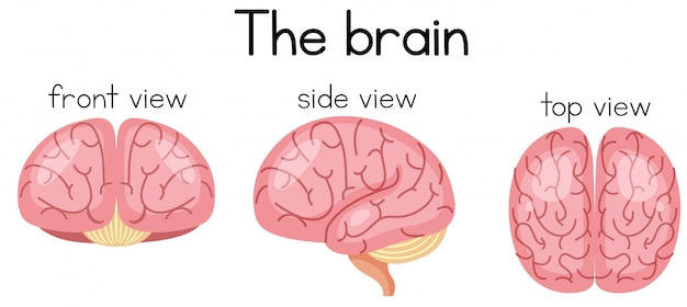 The brain from different sidea Premium Vector