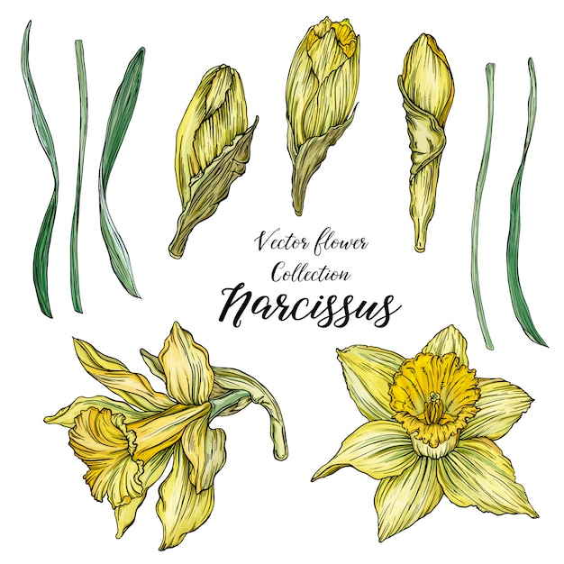 Bright floral spring set with flowers of narcissus. Premium Vector