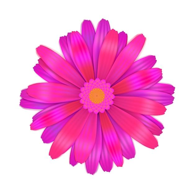 Bright purple gerbera flower on white Premium Vector