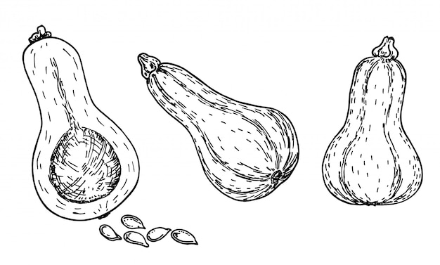 버터 넛 스쿼시 스케치 세트. 손으로 그린 개체입니다. 병 모양의 Butternut 호박과 흰색 배경에 컷된 한 야채 그림입니다. 자세한 채식 음식. 농산물 시장 제품. 세트. 프리미엄 벡터