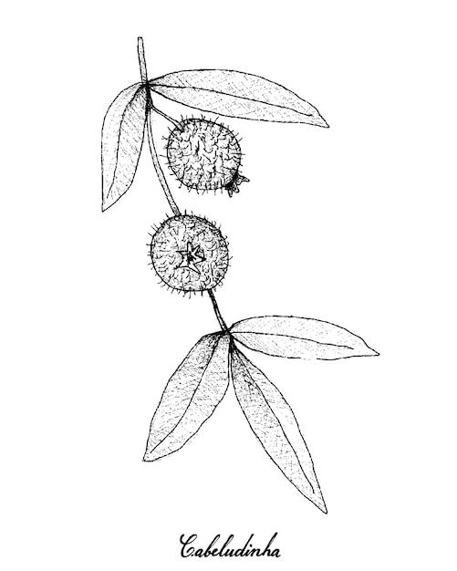 Cabeludinhaフルーツの手描き Premiumベクター