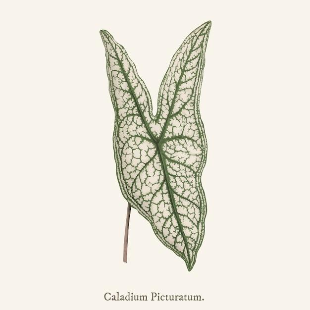 イエス・キリストの心(caladium picturatum) 無料ベクター
