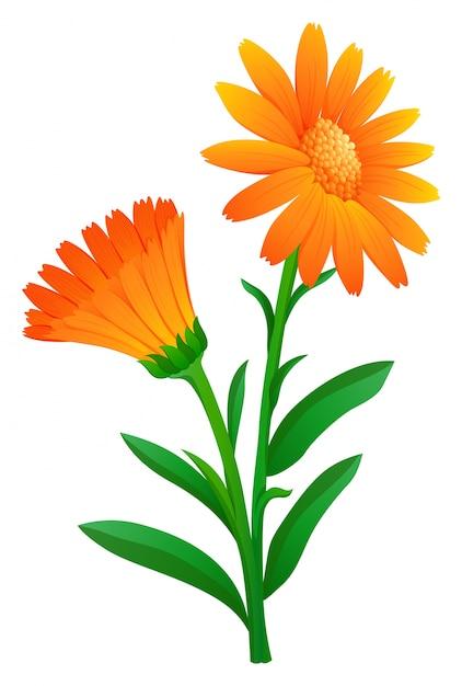 Calendula in orange color Free Vector