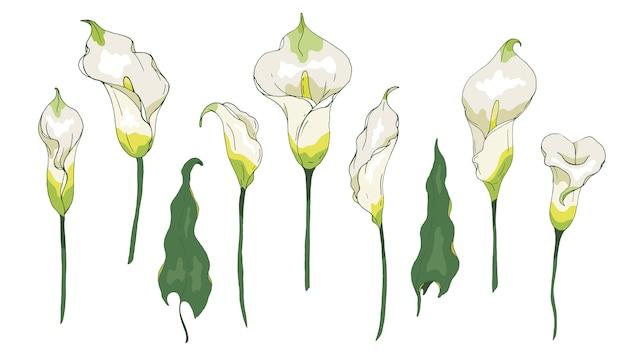 ユリ飾り☆シャッパン花またはザンテデスキア、白い背景で隔離されました。夏のデザインのための花の要素カラー。 Premiumベクター