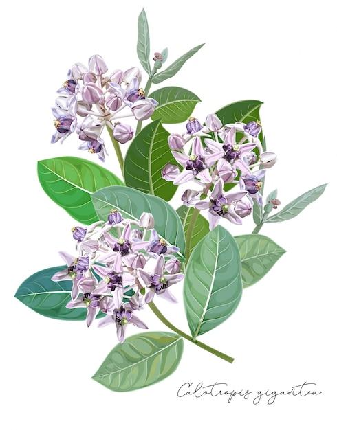 Фиолетовый цветок, цветок calotropis gigantea или цветок короны Premium векторы