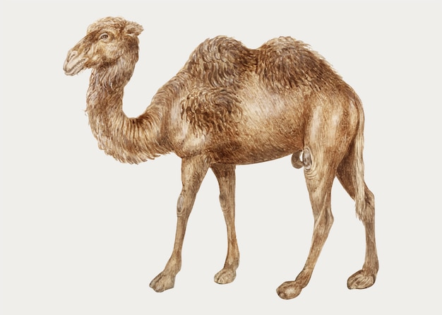 Camel in vintage style Free Vector
