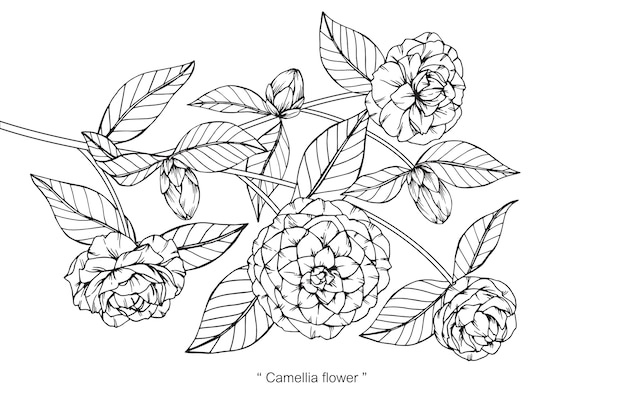 Camellia Flower Line Drawing : Camellia flower drawing illustration vector premium download