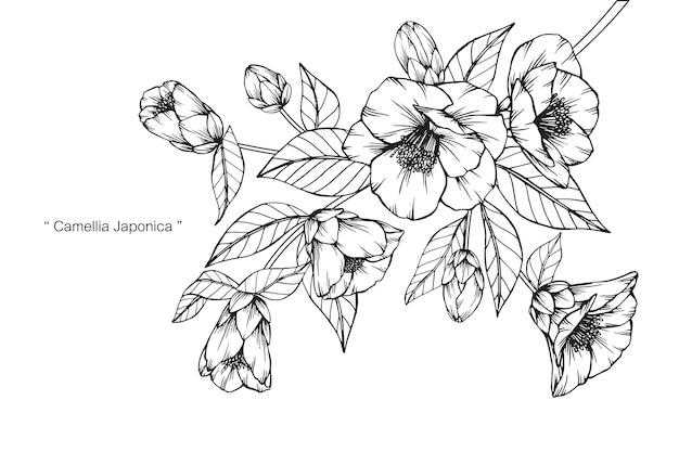 Camellia Flower Line Drawing : Camellia japonica flower drawing illustration vector