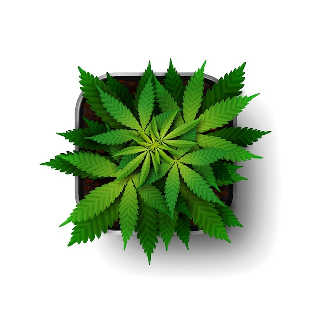 The cannabis plant at the growing stage grows in a square pot
