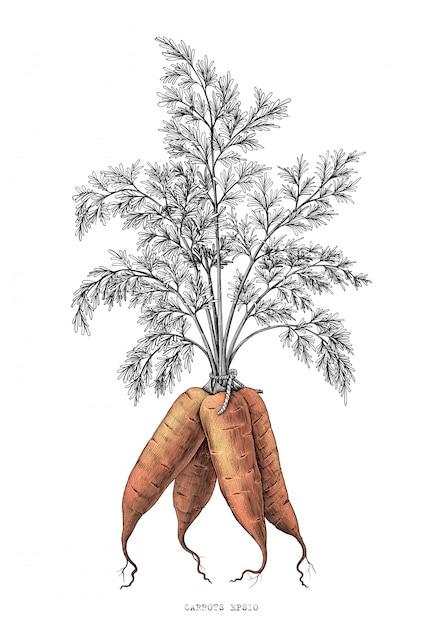 Морковь ручной рисунок гравюра иллюстрации на белом фоне Premium векторы