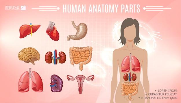 漫画の人体解剖学明るいテンプレート女性の体、肝臓、胃、心臓、脳、肺、腎臓、脾臓、腸、女性の生殖システム 無料ベクター