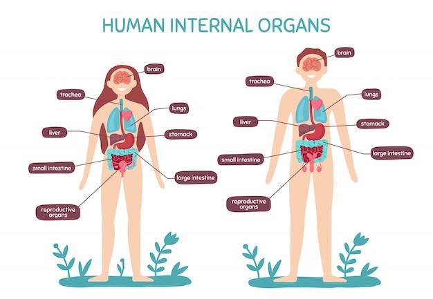 Cartoon human body anatomy. male and female internal organs, humans physiology chart  illustration Premium Vector