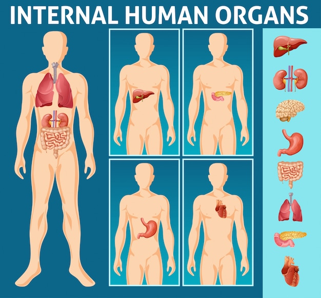 Cartoon human body internal parts concept Free Vector
