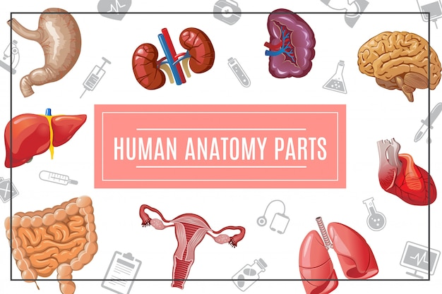 Cartoon human body organs composition with liver kidneys lungs brain heart stomach intestine female reproductive system and medical icons Free Vector