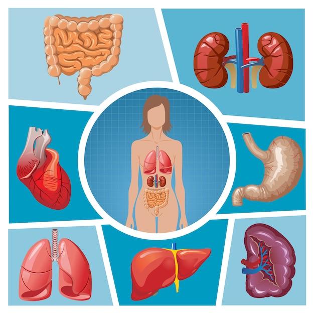 分離された肺、腎臓、胃、脾臓、肝臓、心臓、腸、腸と漫画の人体のパーツ構成 無料ベクター
