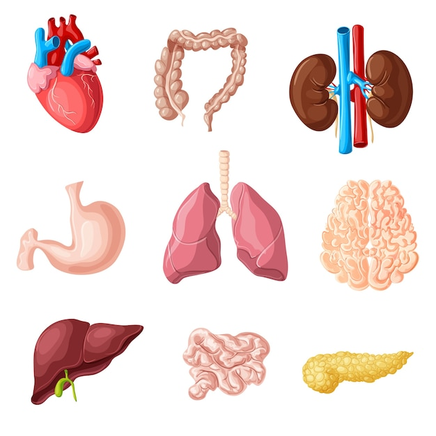 Cartoon human internal organs set Free Vector