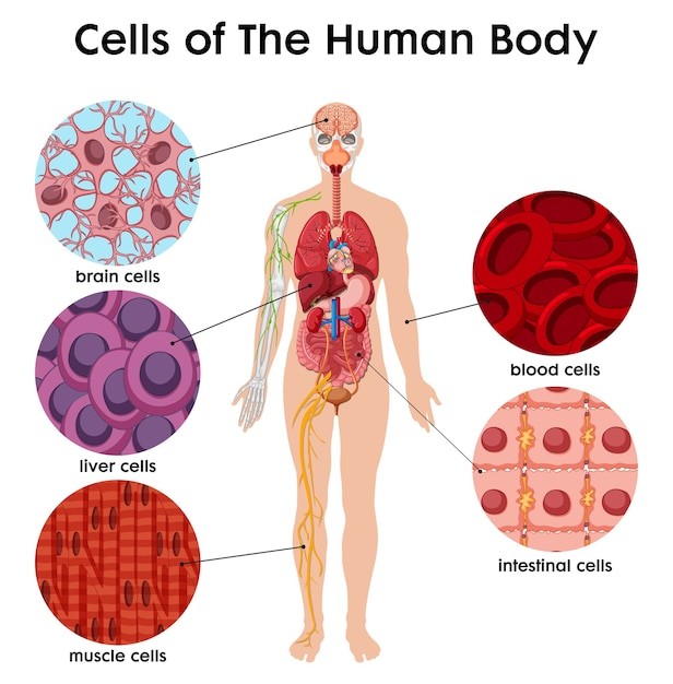 Cell of the human body poster Free Vector