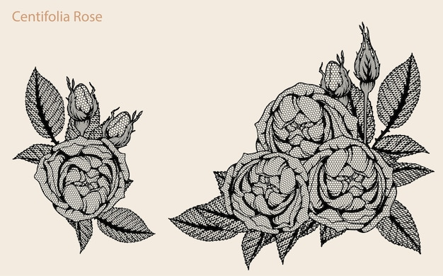 Line Drawing Of Rose Plant : Centifolia rose lace vector set by hand drawing premium