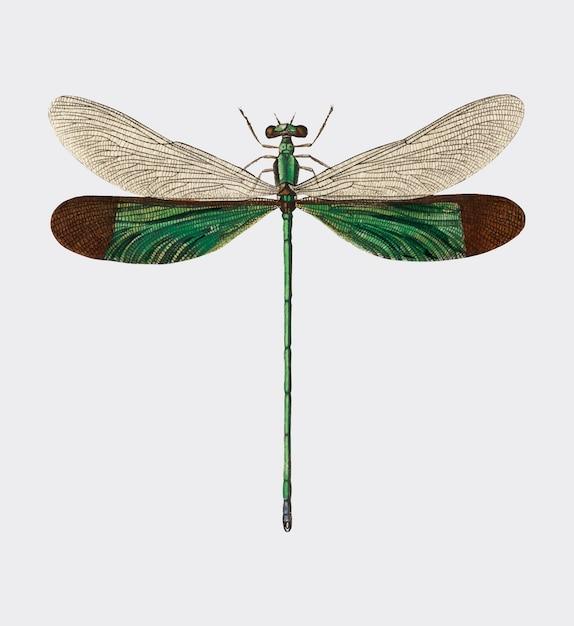 Charles dessalines d orbigny(1806-1876)によって描かれたストリームの栄光(neurobasis chinensis) 無料ベクター