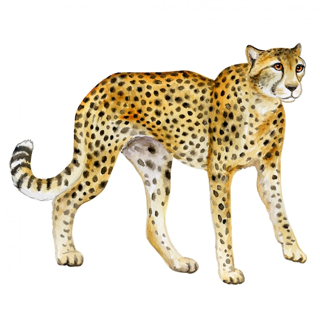 Cheetah. watercolor wild cat Premium Vector
