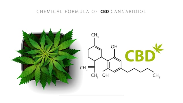 Chemical formula of cbd cannabidiol and cannabis plant grows in a square pot, top view. Premium Vector