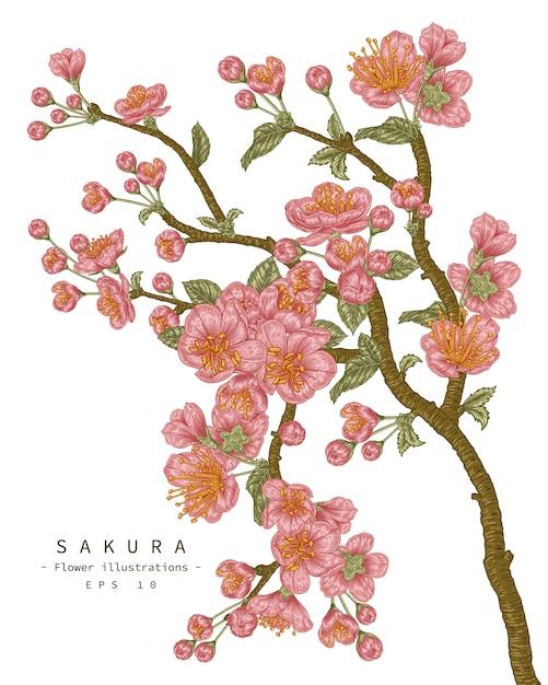 Cherry blossom flower drawings Premium Vector