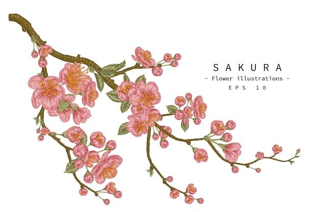 벚꽃 꽃 손으로 그린 식물 삽화. 무료 벡터