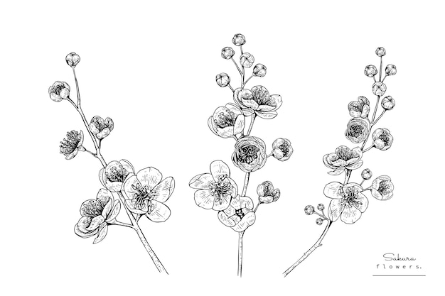 Cherry Blossom Sakura Flower Drawings Vector Premium Download