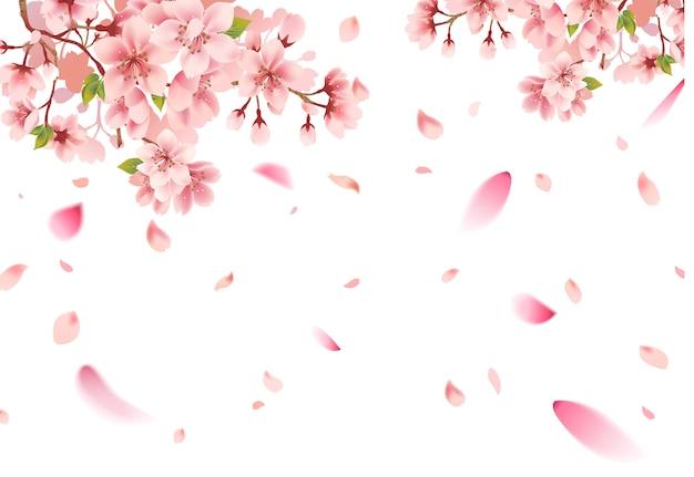 Cherry blossom sakura on white background Premium Vector